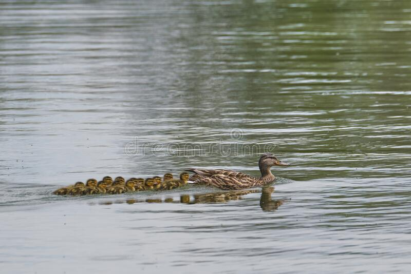 Mallard and Ducklings royalty free stock images