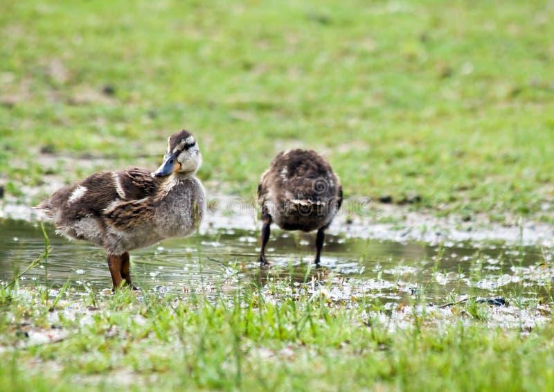 Mallard Ducklings Outside