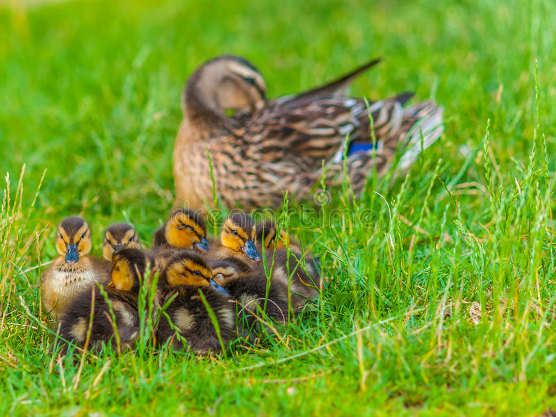 Mallard Ducklings stock photos
