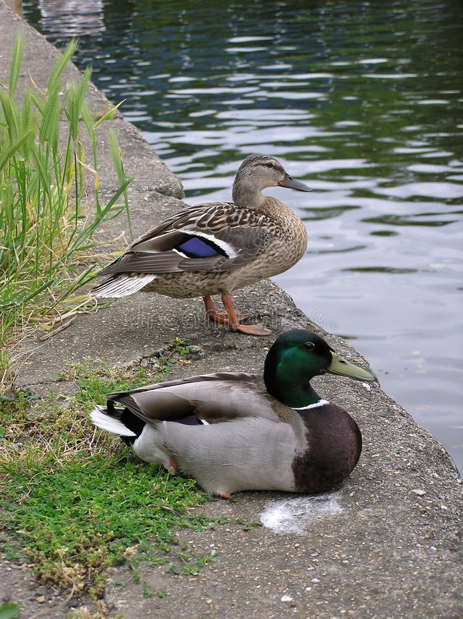 Mallard Ducks stock image