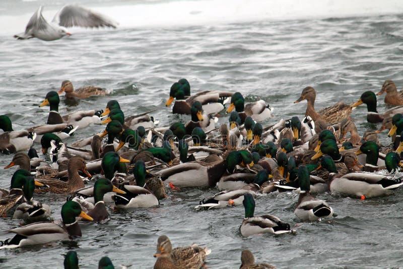 Mallard ducks crowd afloat. Mass of mallards Anas platyrhynchos wintering in city. Minsk, Belarus royalty free stock photos