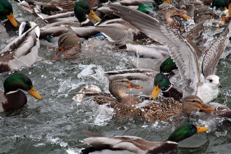 Mallard ducks crowd afloat. Mass of mallards Anas platyrhynchos wintering in city. Minsk, Belarus stock images