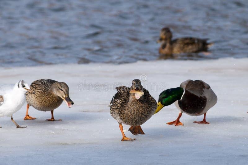 what eats a mallard duck