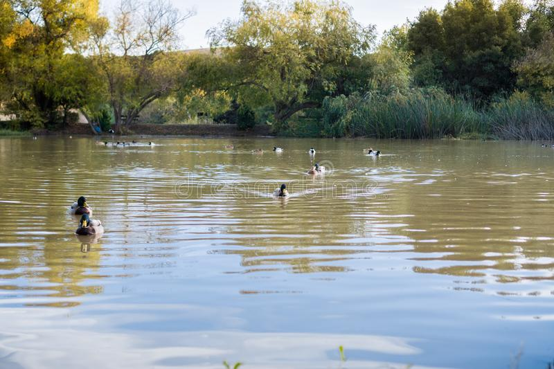 Mallard ducks il nuoto in uno stagno nella sera immagini stock