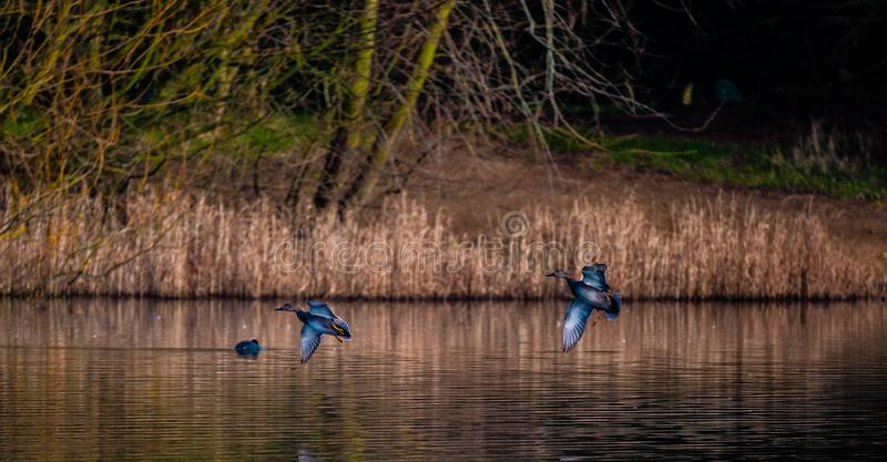 Mallard Ducks Landing on water. The mallard is a large and heavy looking duck. It has a long body and a long and broad bill. The male has a dark green head, a stock images