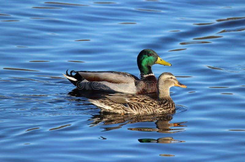 Mallard Ducks stock photography