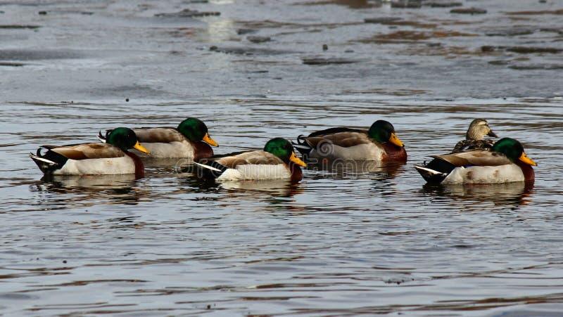 Mallard Ducks stock photos
