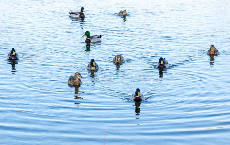 Mallard ducks royalty free stock image