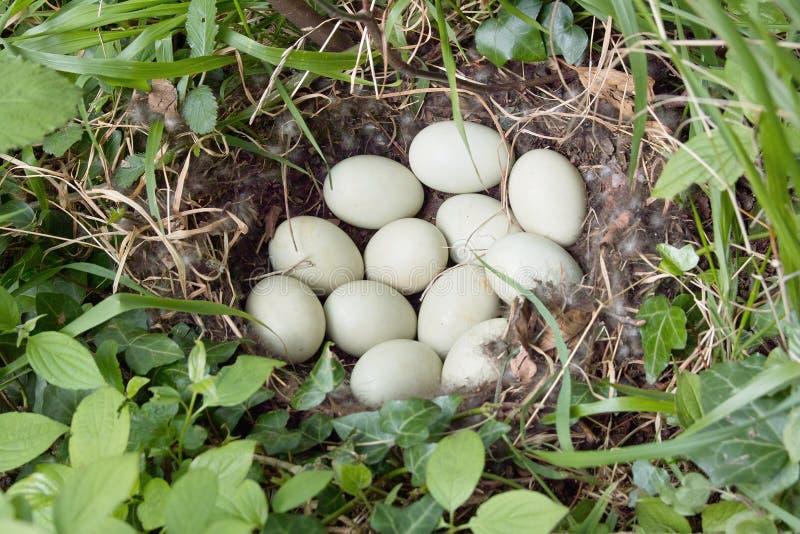 Mallard eggs stock photography