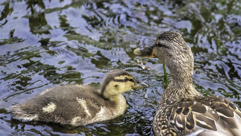 Female mallard with her duckling stock photo