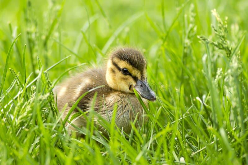 Mallard kaczątko w trawie w Spokane, Waszyngton obraz stock