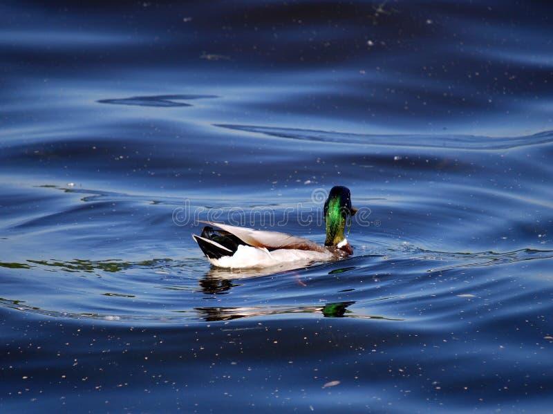 Mallard kaczka Drake nurkuje dla ryby na rzece Dostaje jego jedzenie zdjęcie stock