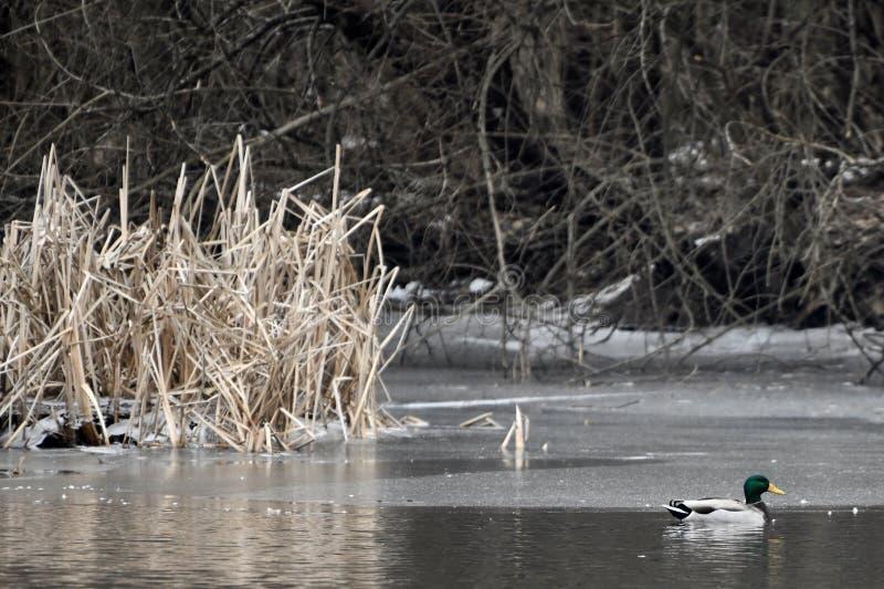 Mallard kaczka na DuPage rzece obraz royalty free