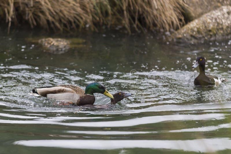Mallard kaczka siłą matuje żeńskiego Pospolitego Pochard fotografia royalty free