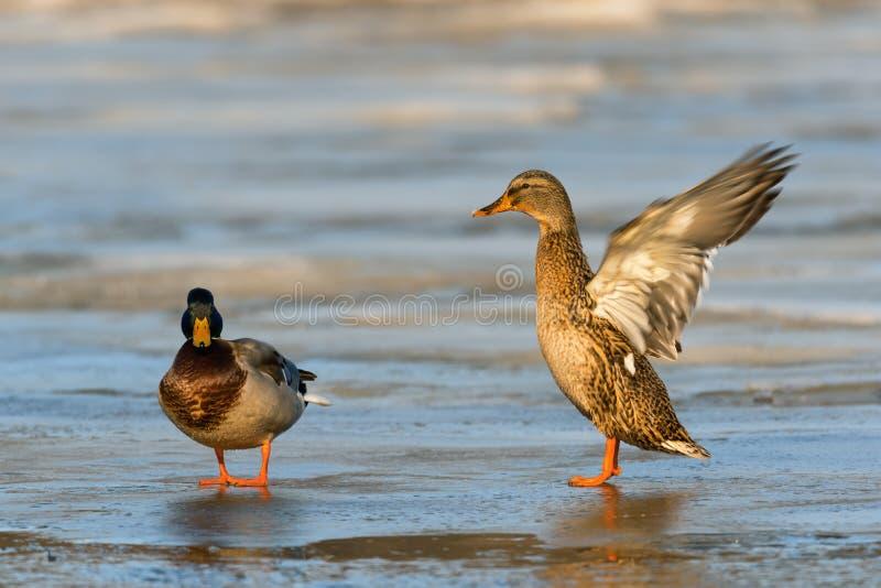 Mallard kaczka z rozszerzaniem się uskrzydla na zamarzniętej rzece, przyrody zimy scena obrazy stock