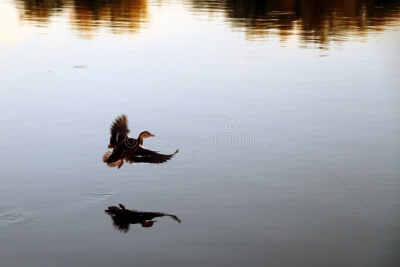 Mallard kaczka zdejmuje od jeziora zdjęcia royalty free