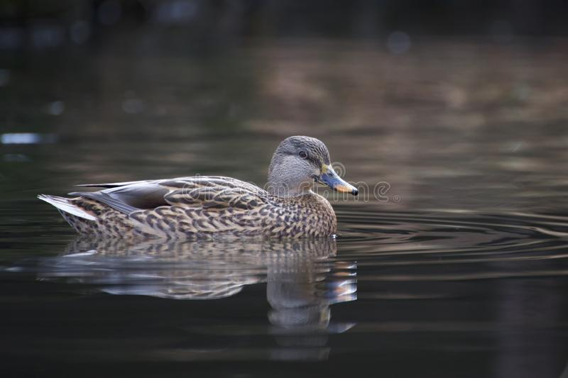 Mallard kaczki dopłynięcie na stawie obraz royalty free