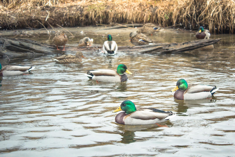 Mallard kaczki grupa w naturalnej scenie zdjęcia stock