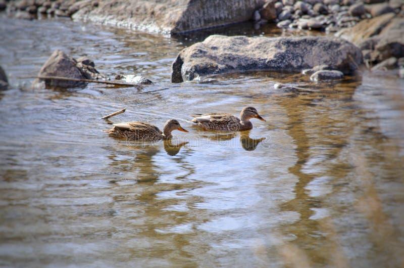 Mallard kaczki karmią wewnątrz Arkansas rzekę obraz stock