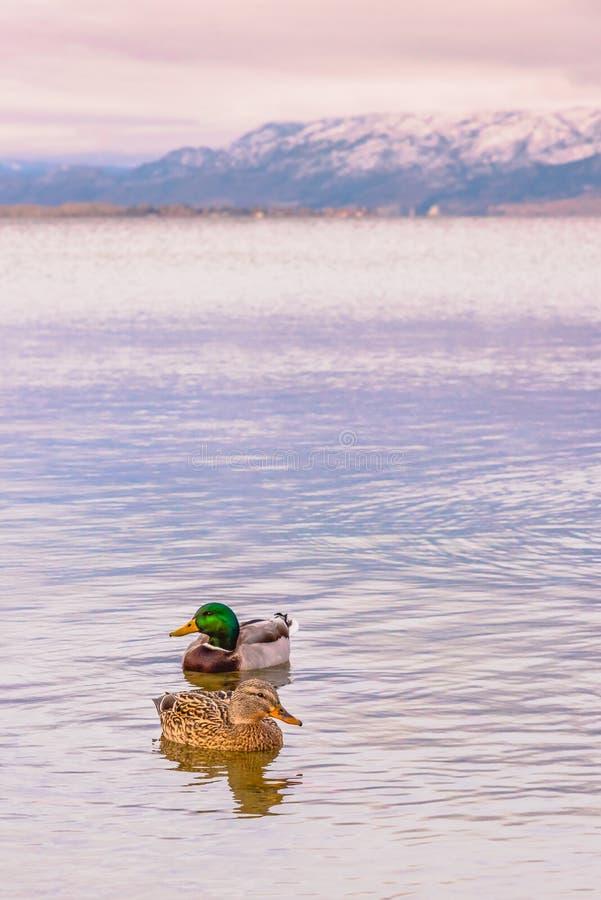 Mallard kaczki pary dopłynięcie na Okanagan jeziorze w zimie przy zmierzchem obraz stock