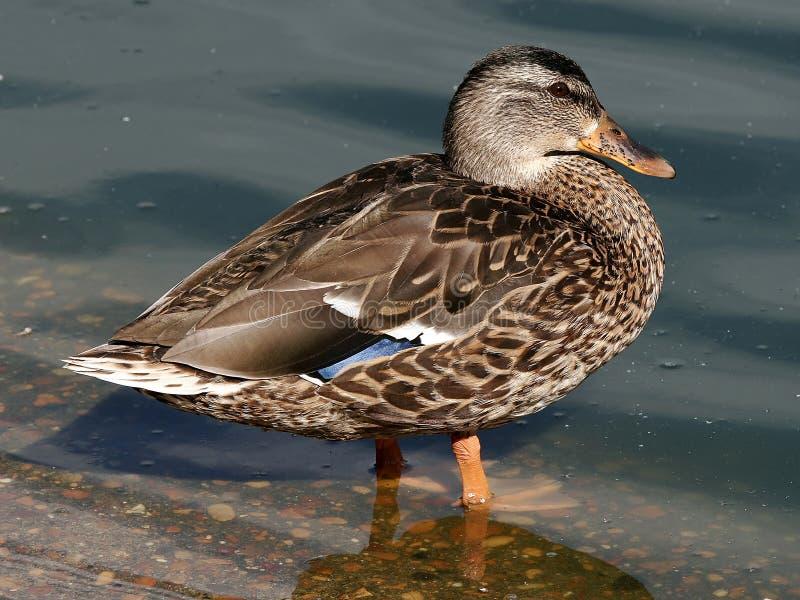 mallard kurni waterfowl kaczki obrazy royalty free