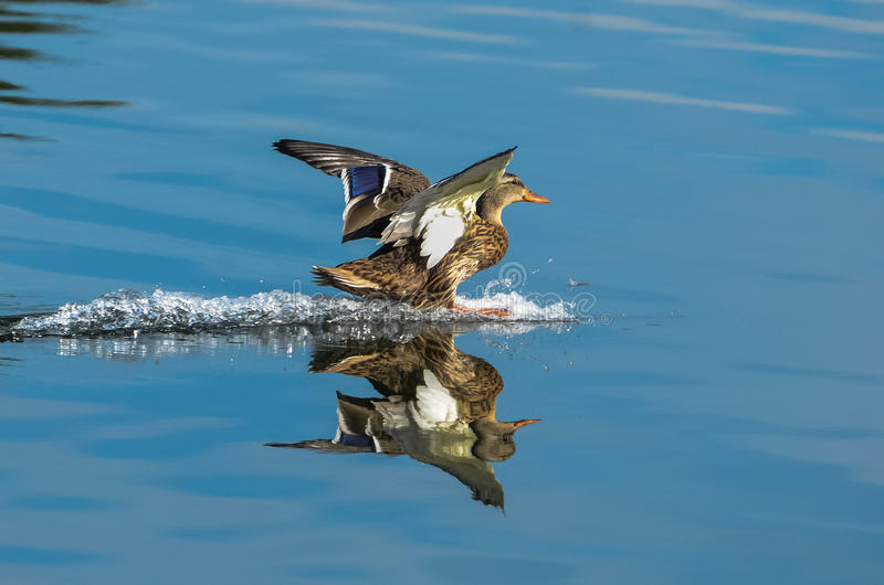 Mallard Landing on Water. Mallard duck landing on water. Bird in flight. Oquirrh Lake. Shallow landing causing splashes stock photo