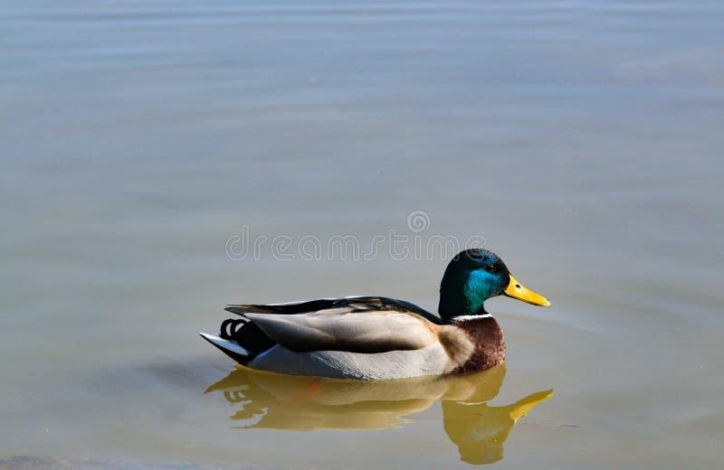 Mallard nel fiume immagini stock libere da diritti