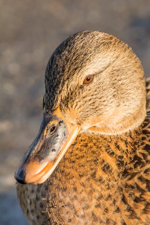 Mallard ou canard sauvage image libre de droits