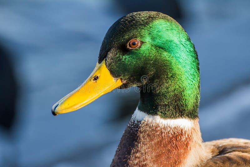 Mallard ou canard sauvage photos libres de droits