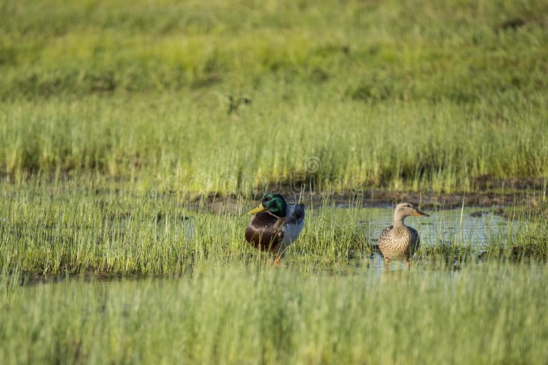 Mallard Pair in a Marsh. Standing in shallow water in a grassy marsh, a beautiful male mallard with iridescent green head, yellow bill and brown feather and his stock photos