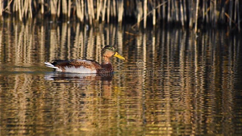mallard Pato selvagem na costa de uma lagoa Homem-pato Platyrhynchos dos Anas fotografia de stock
