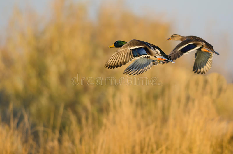 Mallard penche voler au-dessus d'Autumn Countryside photos libres de droits