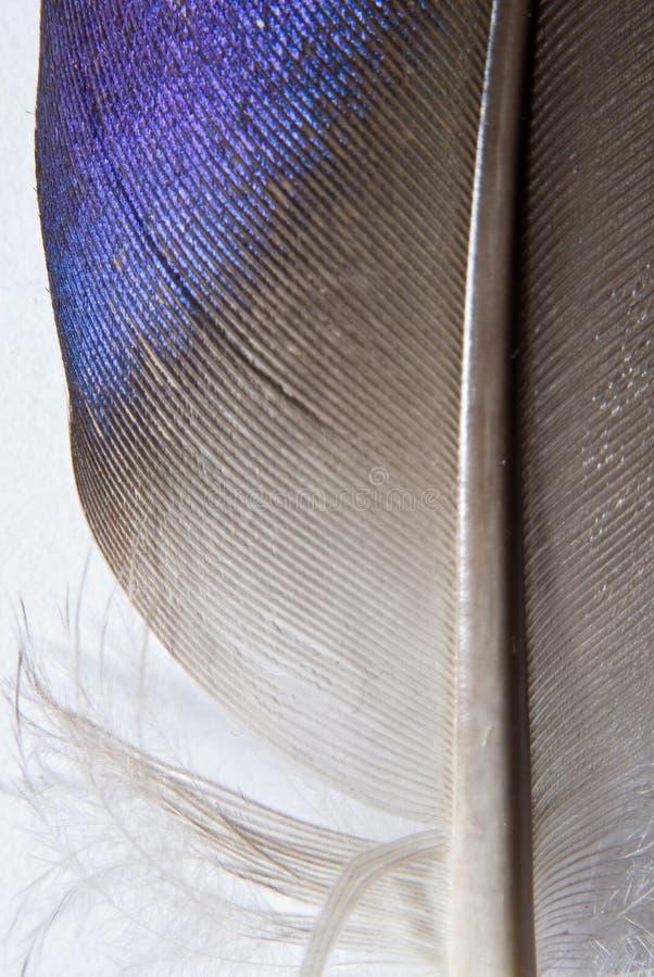 mallard piórko szczególne obrazy stock