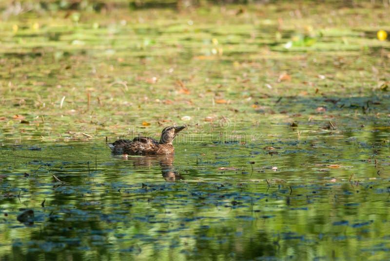 Female mallard. Mallard quacking on a green pond royalty free stock photo