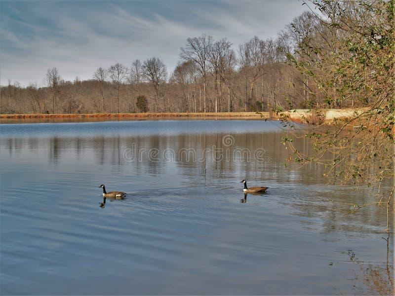 Mallard See an Tanglewood-Park stockbilder
