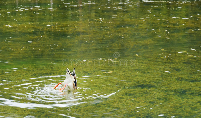 Mallard submerged, Antorno lake. Mallard eating with his head submerged in the shallow water, Antorno lake, Italy. sept. 2015 stock photo