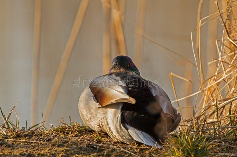 A Mallard on sunrise warming up royalty free stock photography