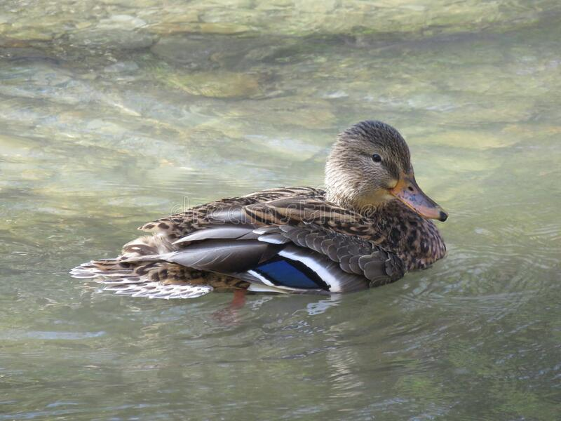 Mallard swimming in the river stock photo
