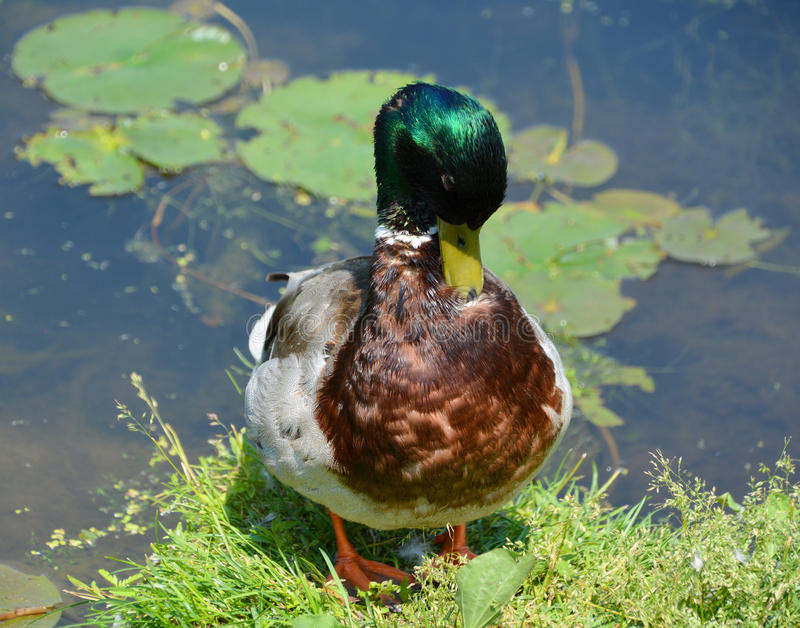 The mallard. Or wild duck Anas platyrhynchos is a dabbling duck which breeds throughout the temperate and subtropical Americas, Eurasia, and North Africa stock photography