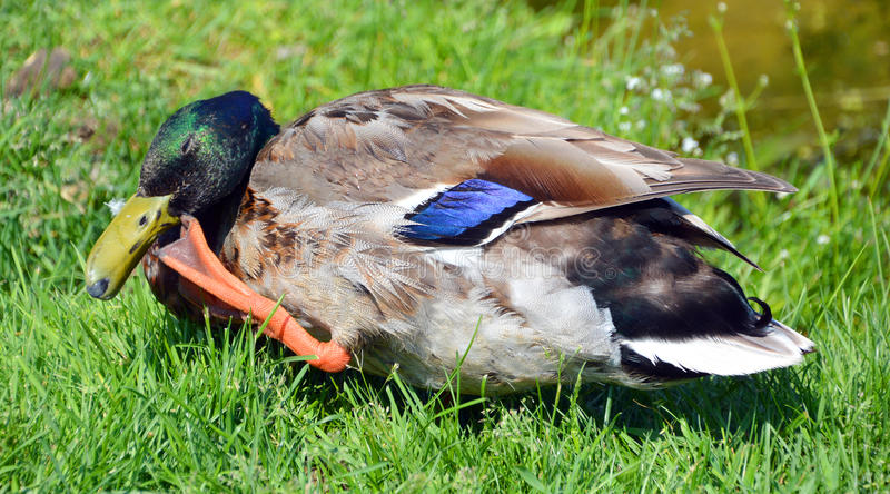 The mallard. Or wild duck Anas platyrhynchos is a dabbling duck which breeds throughout the temperate and subtropical Americas, Eurasia, and North Africa stock photos