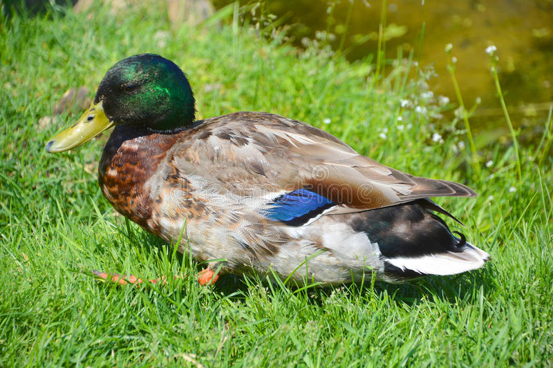 The mallard. Or wild duck Anas platyrhynchos is a dabbling duck which breeds throughout the temperate and subtropical Americas, Eurasia, and North Africa royalty free stock photo