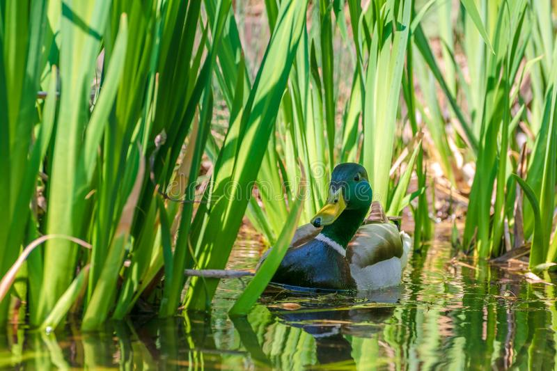 Mallard or Wild Duck Anas platyrhynchos swimming in pond royalty free stock image