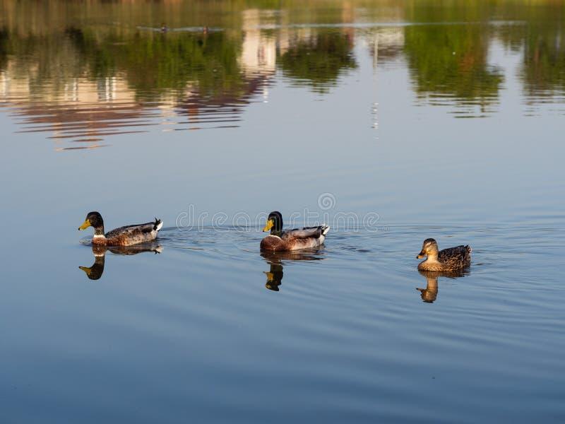 Mallard wild ducks swimming in the pond royalty free stock image