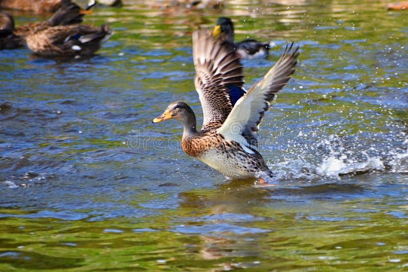 mallard Wildente auf dem Ufer von einem Teich Mann-Ente Anekdoten platyrhynchos lizenzfreie stockfotografie