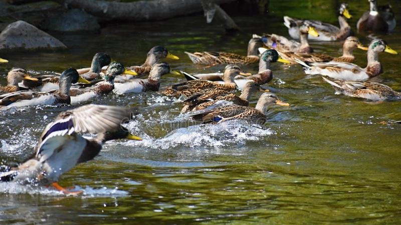 mallard Wildente auf dem Ufer von einem Teich Mann-Ente Anekdoten platyrhynchos stockfoto