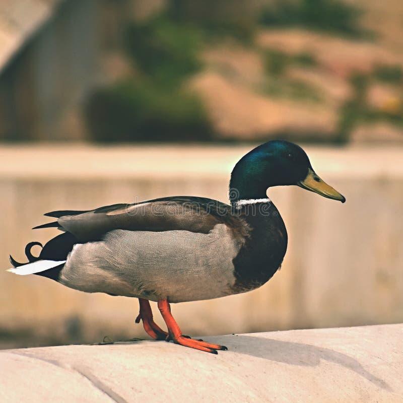mallard Wildente auf dem Ufer von einem Teich Mann-Ente Anekdoten platyrhynchos lizenzfreies stockfoto