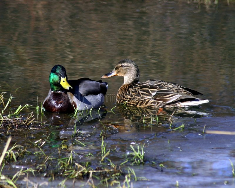 mallards obrazy stock