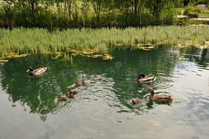 Mallard ducks and ducklings in Victoria Park in East London , England UK stock images
