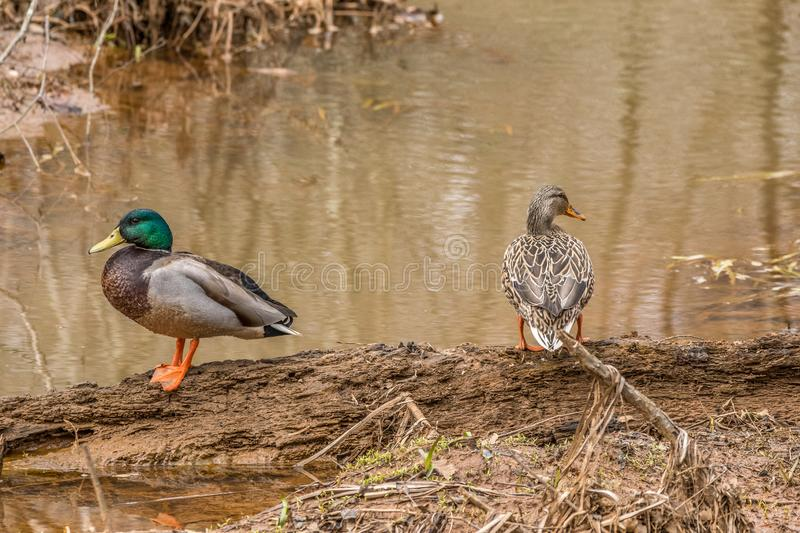 Mallards female and male ducks royalty free stock photography