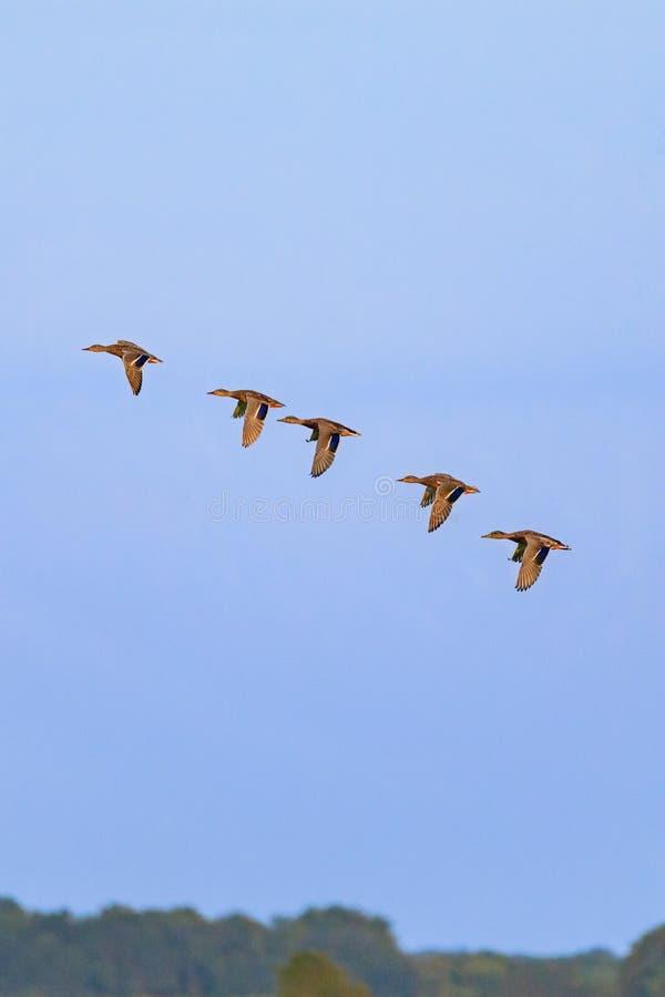 Mallards in formation. A flock of Mallard, Anas platyrhynchos, Ducks flying in formation in Bald Knob National Wildlife Refuge in Bald Knob, Arkansas, September stock photography